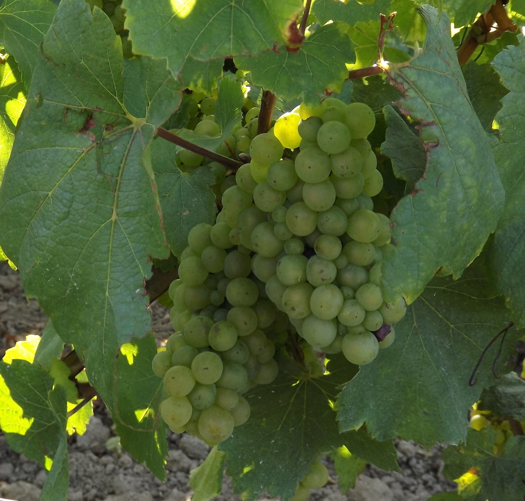 ChampagneChardGrapes